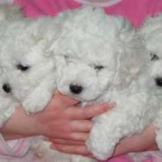 Bichon Frise breeder breeding how to