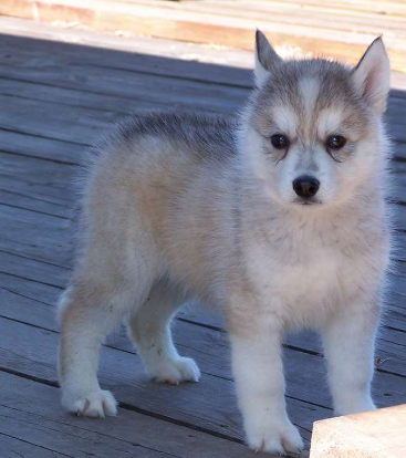 Puppy husky dog in four tones with white, grey, light ...
