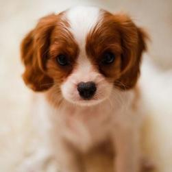 King Charles Spaniel puppy breeding