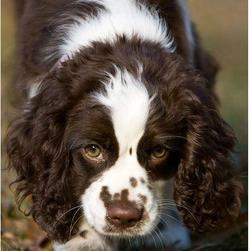 springer spaniel breeding information