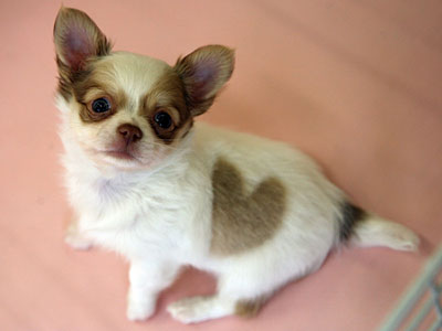 pictures of long haired chihuahua puppies. long hair Chihuahua puppy.jpg