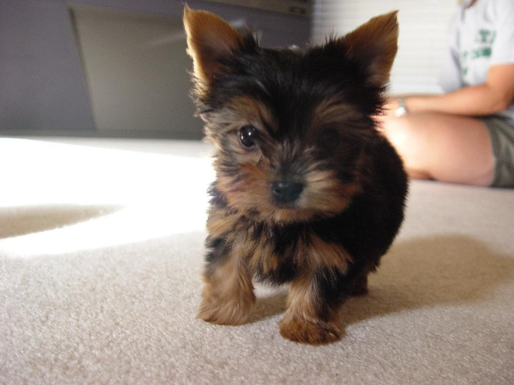 Puppy World: Pictures Of A Yorkie Puppy