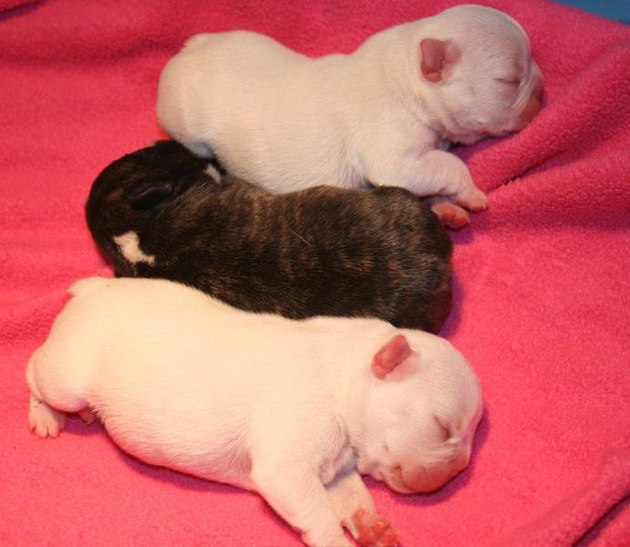 ImageSpace - Newborn Teacup Maltese Puppies | gmispace com