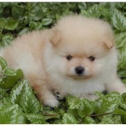 breed Pomeranians