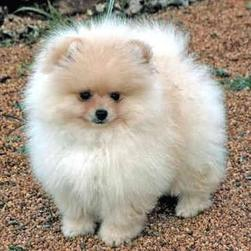 how to breed Pomeranians