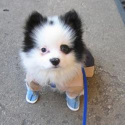 white black pomeranian puppy wearing shoes.jpg