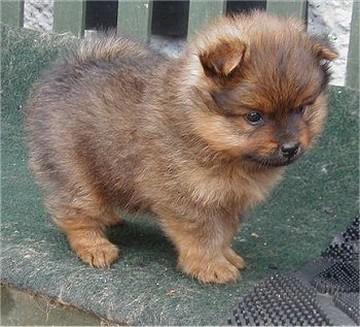 light brown Pomeranian puppy.jpg (1 comment)