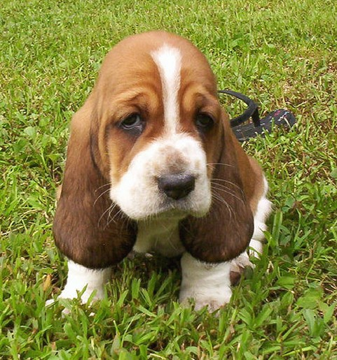 cute plott hound dog - photo #46