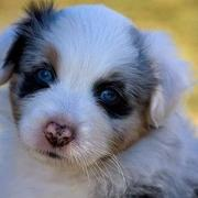 Australian Shepherd puppy breeding