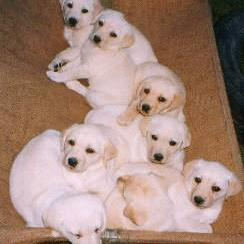 litter of labrador puppies
