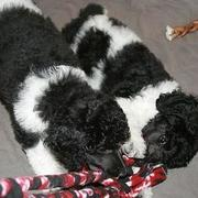 poodle puppy breeding