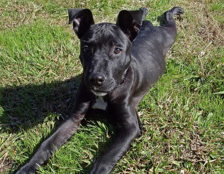black pit bull puppy looking up to the camera.jpg (6 ...