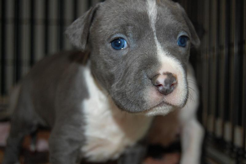 white and grey pitbull pup with dark blue eyes.jpg (18 ...
