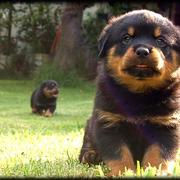 how to breed rottweilers