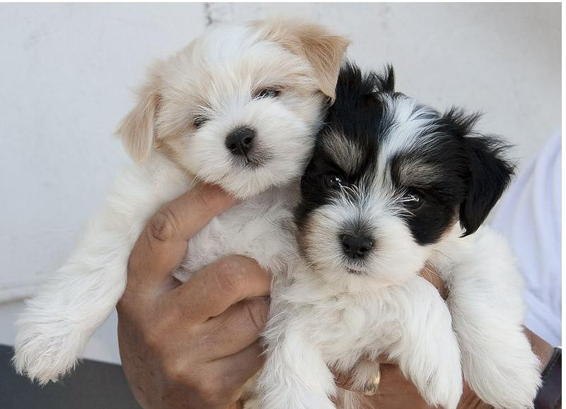 Photos of Havanese puppies two toned colors black white ...