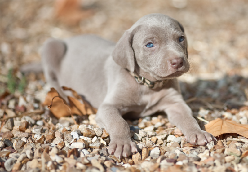 Beautiful Weimaraner Puppy with very pretty blue eyes.PNG ...