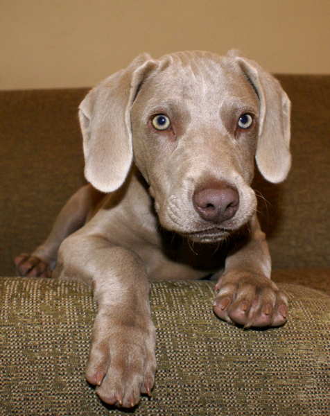 Cute weimaraner puppy pictures.PNG Hi-Res 720p HD
