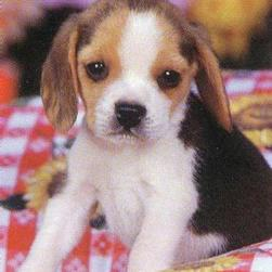 breeding beagles