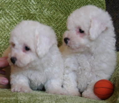 Bichon Frise Puppies on Picture Of Teacup Bichon Frise Puppy Png
